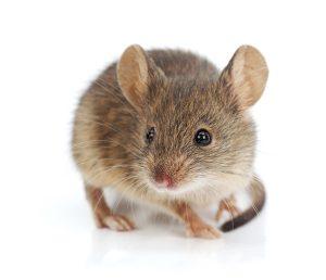 Muizenplaag? Muis in huis bestrijden