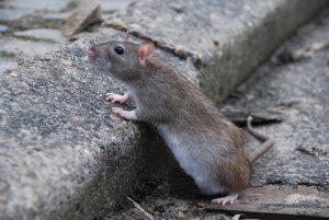 bruine rat rattenplaag