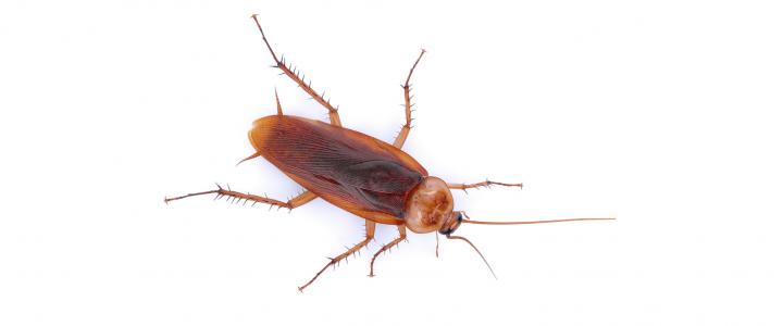 Kakkerlakken : wees alert op deze ongenode gasten
